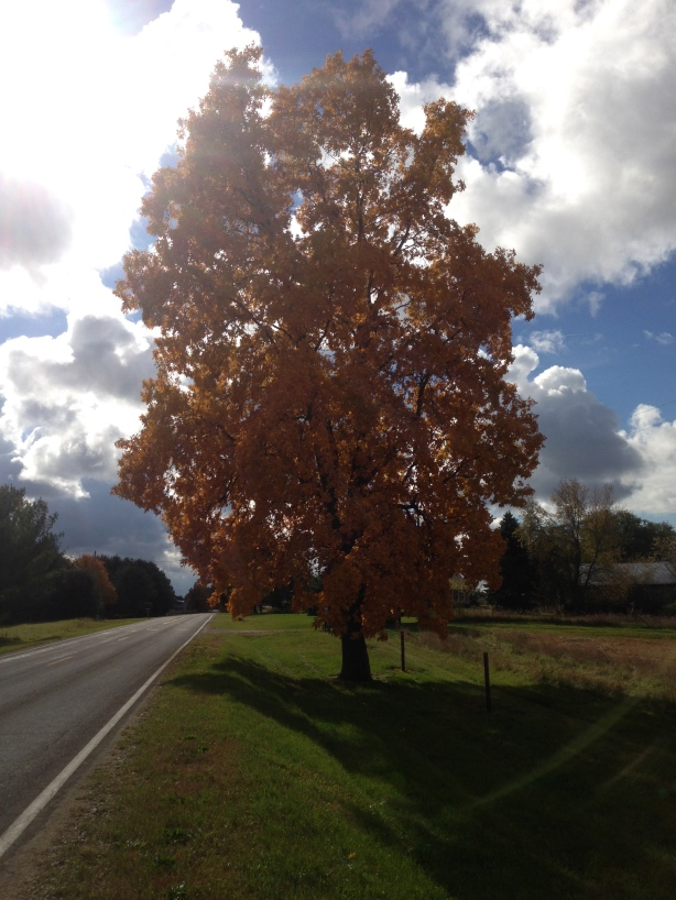 Golden Hickory