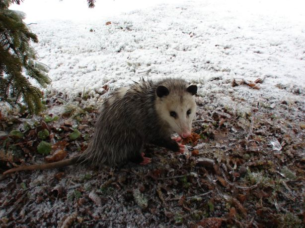 We lost some trees, but gained an opossum.